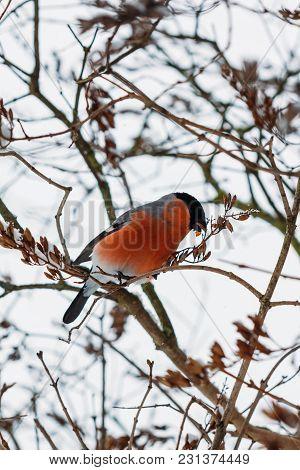Bullfinch Eats On A Tree In Winter