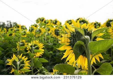 Close Up Yellow Sunflower In Nature Garden