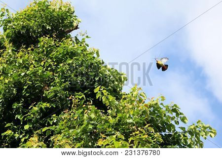 Pink-necked Green Pigeon Birds Flying With Little Tree Branches For Nesting In The Sky