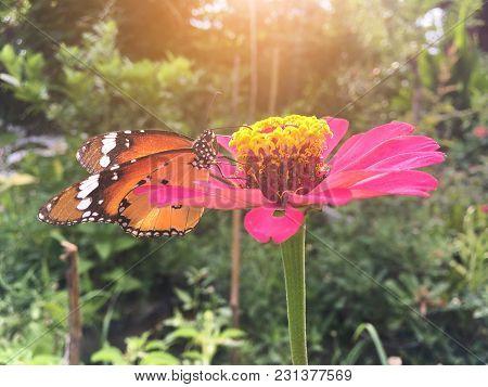 Close Up Butterfly On Zinnia Flower In Nature Garden