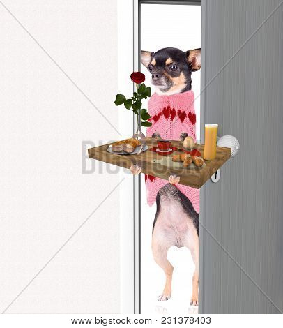 Cute Chihuahua Dog Bring Breakfast For Valentines Day