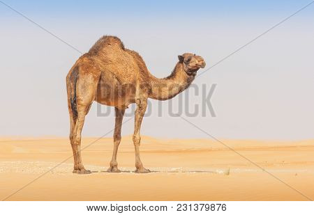 A Camel In The Rub Al Khali Or Empty Quarter. Straddling Oman, Saudi Arabia, The Uae And Yemen, This