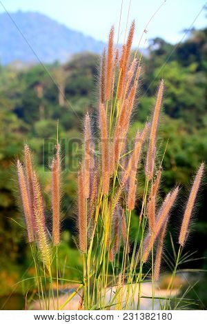 Close Up Group Of Reed Flower On Branch With Forest Burred Background