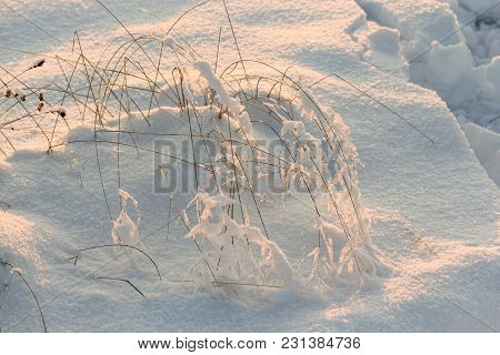 Hoarfrost On Dry Stems. Winter Nature Under Snow On A Sunny Day.