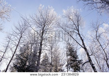 Silvery Frost On The Trees. Winter Nature Under Snow On A Sunny Day.