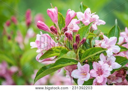 A Rhododendron Flowers On A Green Background