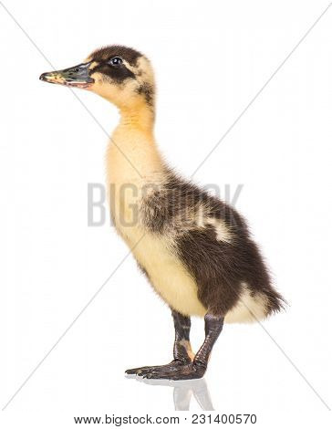Cute little black yellow newborn duckling isolated on white background. Newly hatched duckling on a chicken farm.