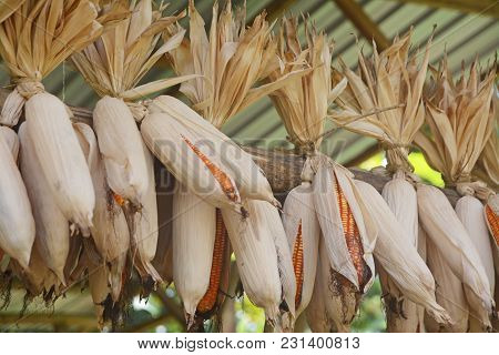 Bunch Of Raw Dry Corn. Agricultural Crops. Close Up