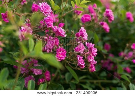 Little Blooming Pink Roses. Flowers. Blooming In The Wild. On The Background Of Dark Green Foliage.