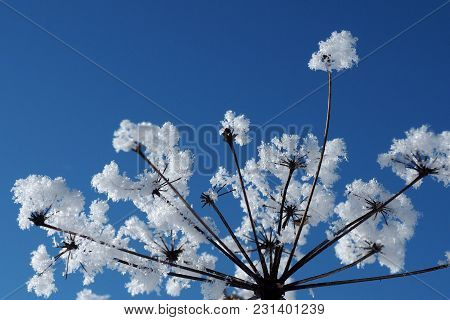 Crystallized Frozen Flowers Against The Blue Sky. Winter Wonder Of Nature Crystals Of Frost.