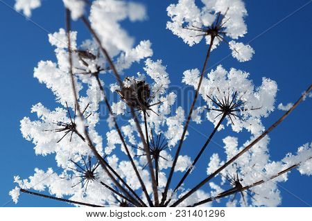The Crystallized Pieces Of Ice Grass Against The Blue Sky. Winter Wonder Of Nature Crystals Of Frost