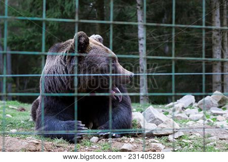 Synevir Glade, Ukraine - Circa Oct 2017: Brown Bear Rehabilitation Center. Wild Bear In Cage, Stuck
