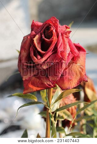 Close Photo Of A Sear Red Bloom Of Rose