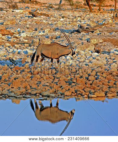 Gemsbok Oryx Standing Next To A Waterhole In Etosha National Park, With A Lovely Reflection In The W