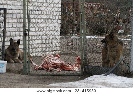 Two Fluffy  Hungry Dogs Lay Near Skeleton With Bare Bones In First Spring Day