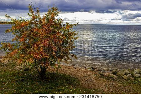 Lonely Tree By The Sea. Autumn Multicolored Yellow, Red And Green Leaves. The Clouds. The Leaves Fal