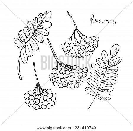 Black Liner Set Rowan Tree. Isolated Elements Of Rowanberry Or Ashberry. Sketch Leaves And Cluster O