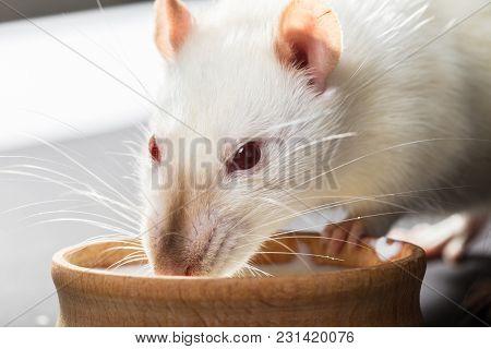 Animal White Rat Eating On A Black Background
