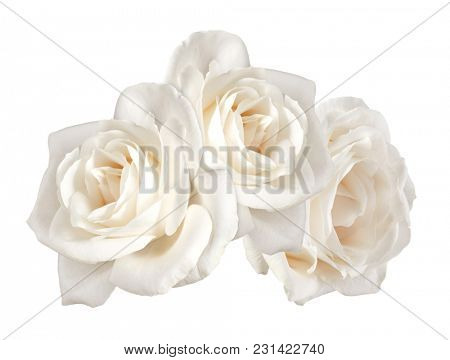 Three white rose flowers isolated on white background cutout