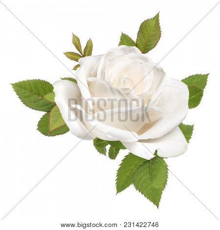 one white rose flower head with leaves isolated on white background cutout