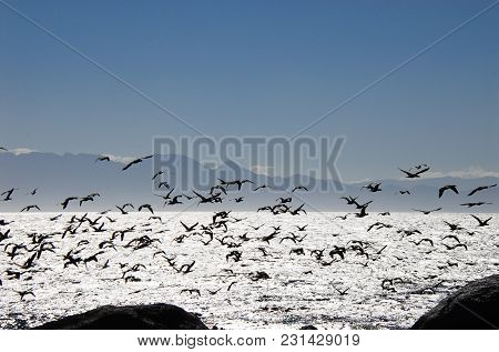 A Beautiful Scene Of A Variety Of Sea Birds In Flight Over Silvery False Bay, In South Africa, Creat