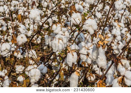 Close Up Of Blooming Cotton Plant In Georgia Field