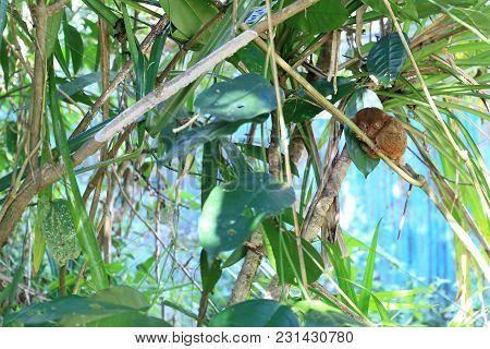 Tarsier, Endemic Animal At The Bohol Island, Philippines