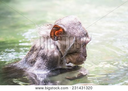 Cute Wet Crab-eating Macaque (macaca Fascicularis) Bathing In Pond. Funny Monkey Fooling Around. Sac