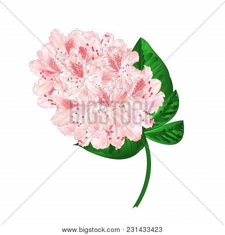 Light Pink Flowers Rhododendron Branch  Mountain Shrub On A White Background Vintage  Vector Illustr