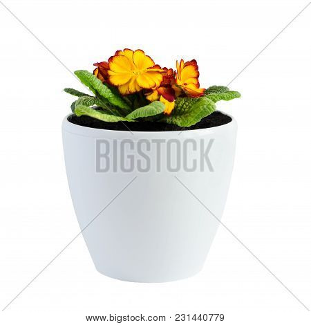 Home Flower Orange Primrose In A White Pot Isolated On White Background