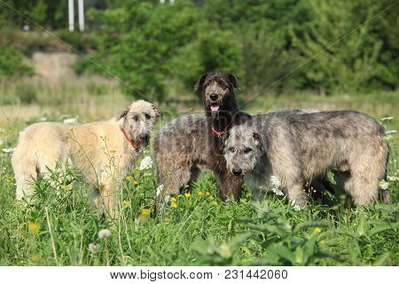 Amazing Irish Wolfhound In Nature