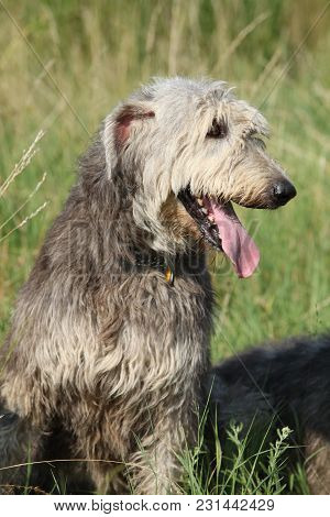 Portrait Of Amazing Irish Wolfhound