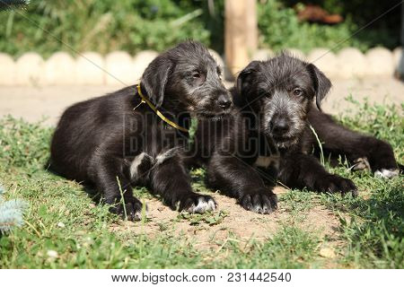 Amazing Puppies Of Irish Wolfhound
