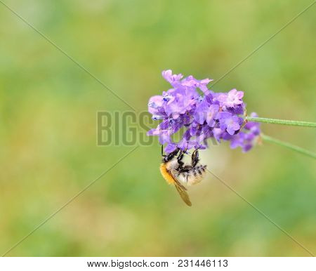 Bumblebee Gathering A Flower Of Lavender On Green Bottom