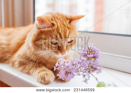 Cute Ginger Cat Smelling A Bouquet Of Lilac Flowers. Cozy Spring Morning At Home.