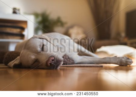 Young Cute Adorable Tired Labrador Retriever Dog Puppy Sleeping At Home On The Floor