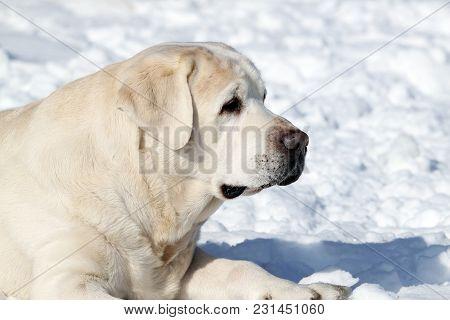 The Cute Yellow Labrador In Winter In Snow Portrait