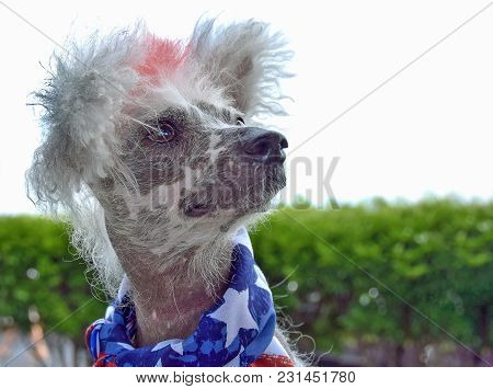 Chinese Crested Hairless Dog Wearing Patriotic Flag Scarf On A Windy Day