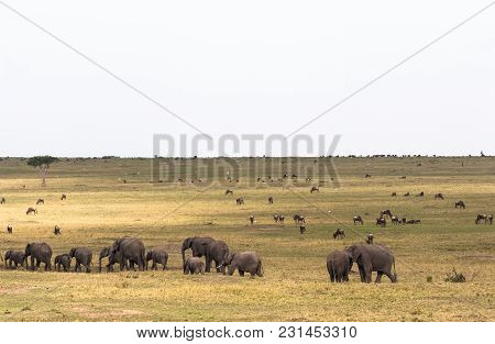 Savannah With Large And Small Herbivores. Elephants And Wildebeest In The Savannah. Masai Mara, Keny