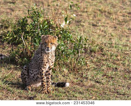 Young Cat Cheetah Near Tree. Masai Mara, Kenya