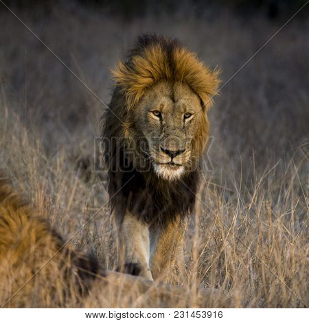 Lion (panthera Leo) In Timbavati Nature Reserve - South Africa