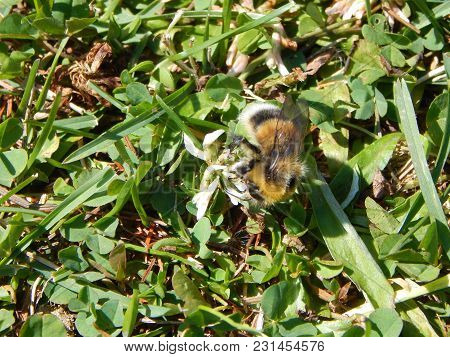 The Bumble-bee Sat Down On A Clover Flower To Gather Pollen