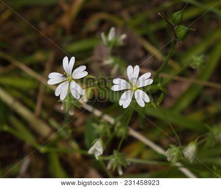 Wild Flower Greater Stitchwort In English Woodland.