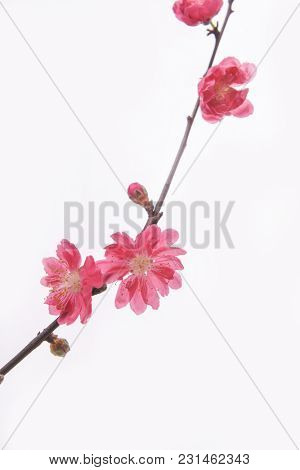Peach blossom flower isolated on white