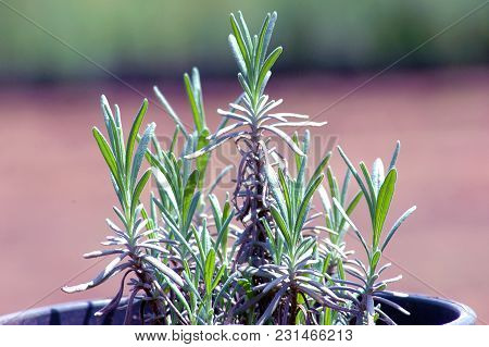 Green Sage Seedling Cultivated In Pot A