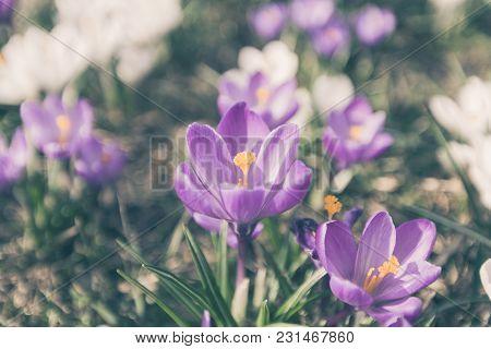 Flowers Crocuses Violet Close-up Spring Matte Filtr