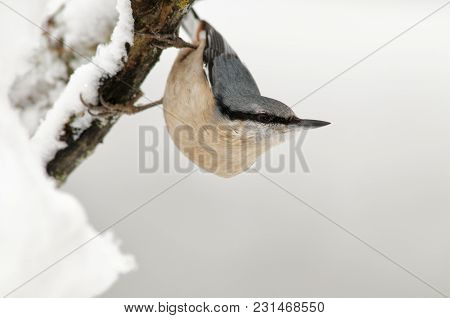 Blue Climber In The Snow Looks For Food With His Classic Posture In The Form Of A Hook