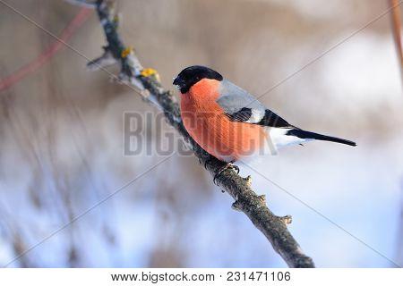 Eurasian (common) Bullfinch (pyrrhula Pyrrhula) Sitting On A Branch Under The Low Winter Sun.
