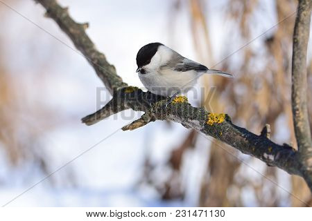 Willow Tit Looks At The Bird Feeder, Sitting On A Branch Covered With Lichen.