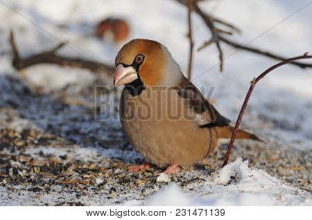 The Hawfinch (coccothraustes Coccothraustes) Sits On The Snow With Scattered Seeds (bending Head, Mo